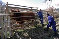 The farmers persuade the bull into a pen