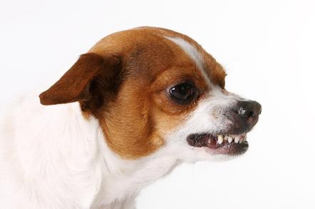 chihuahua terror packs of tiny hounds menace arizona the register
