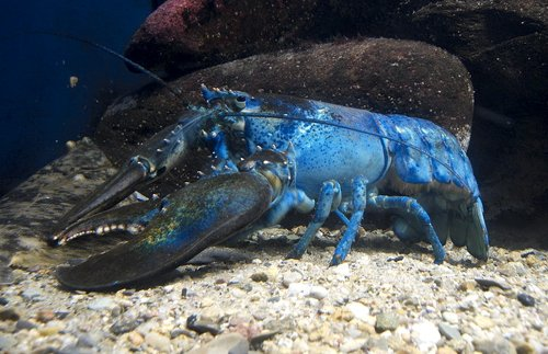 Blue lobster is a mutant