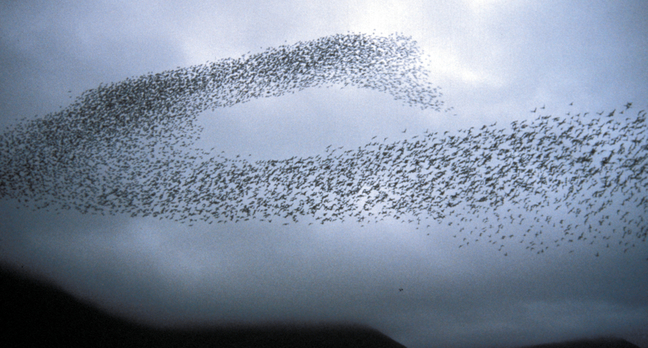 Swarm of Auklets