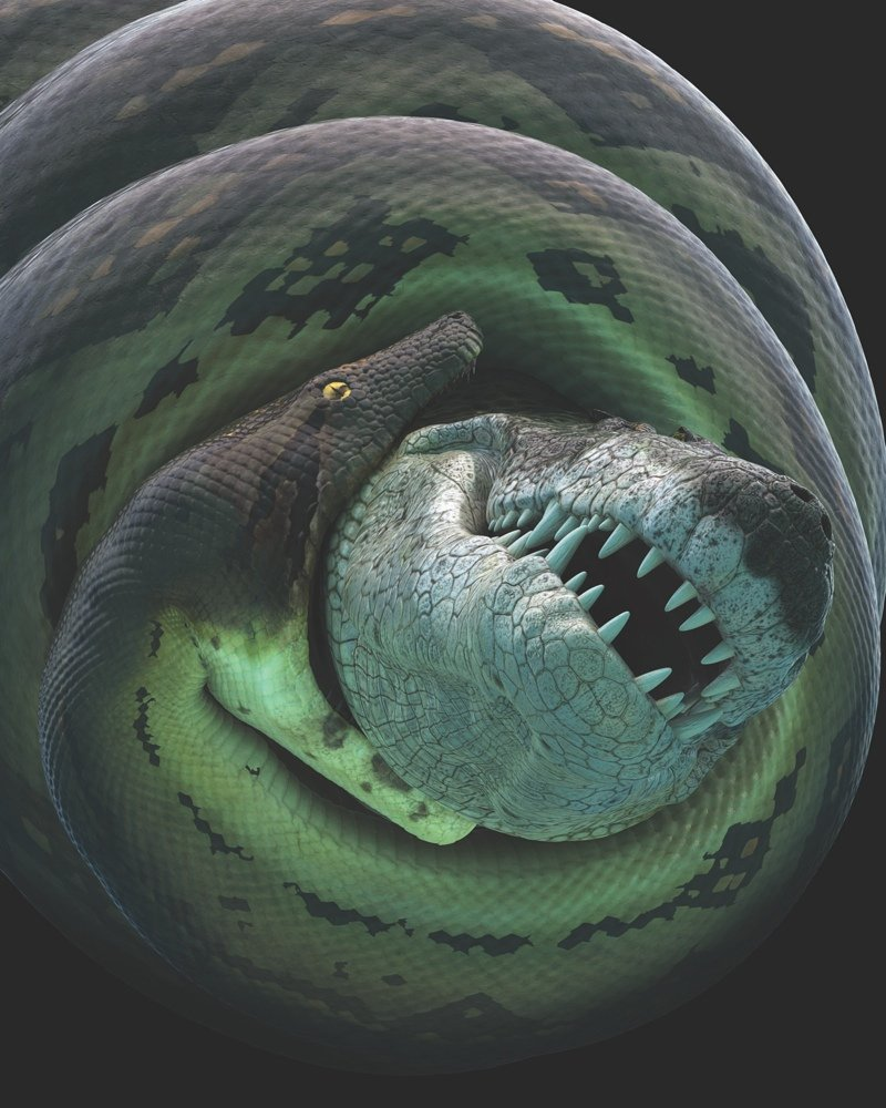 Titanboa constricts Anthracosuchus balrogus croc