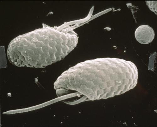 Cryptophytes