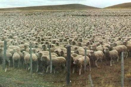 Sheep muster
