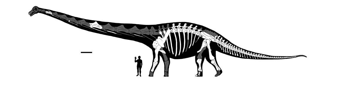 Dreadnoughtus and a human comparison
