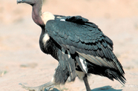 Vulture with white rump