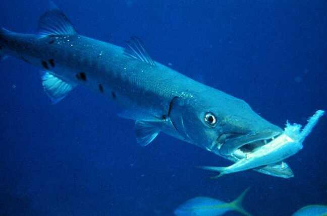 Backup bruiser Barracuda bares teeth, gulps down C2C • The ...