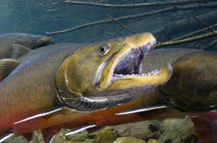 Bull trout. Credit: Joel Sartore/ National Geographic & Wade Fredenberg/ USFWS