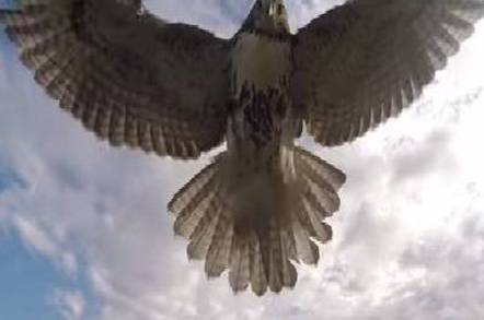 Hawk hits drone
