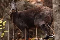 Musk Deer -from WCS