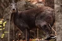 Musk Deer -from WCS