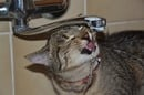 Cat drinks water from bath tap