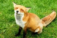 Mozilla Firefox Fox sitting down