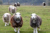 Herdwick sheep walk towards the camera