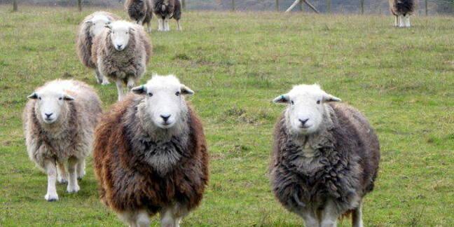 Herdwick sheep walk towards the camera