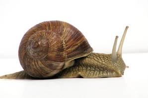 Snail photo Jurgen Schoner CC wikimedia