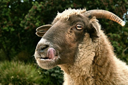 Hungry goat licks lips. Pic: David Goehring