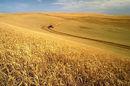 wheat_harvest_648