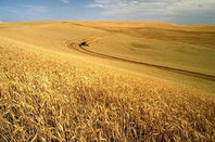 wheat_harvest_648