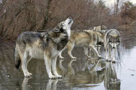wolves_shutterstock_compressed