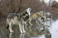 wolves_shutterstock_compressed