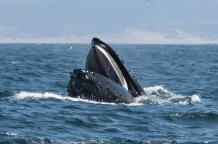 A humpback whale shows its open mouth as it breaches the surface of the sea.