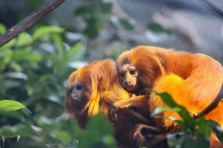 Golden Lion Tamarins huddle together in foliage.