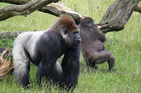 Gorillas by Thomas Wildmann Flickr https://creativecommons.org/licenses/by-sa/2.0/
