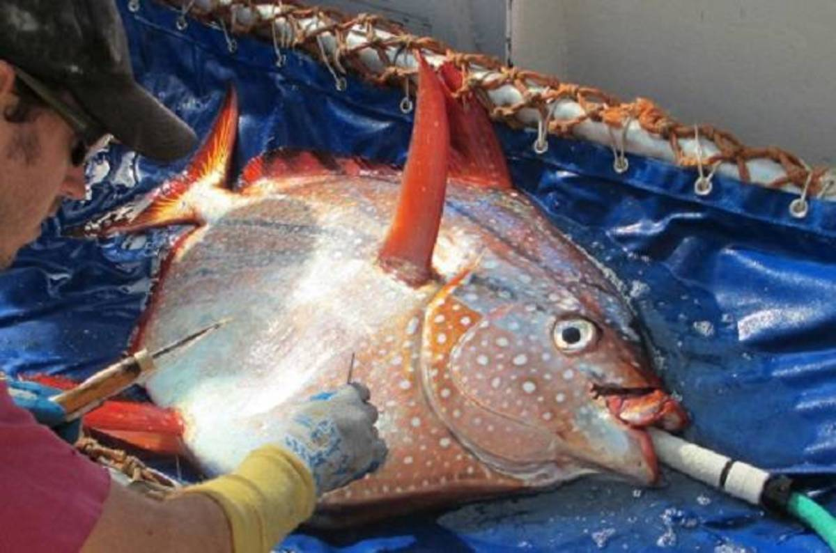 You 39 re going to have stop calling people 39 cold fish 39 this for Opah fish price