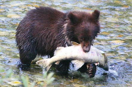bear_cub_with_salmon
