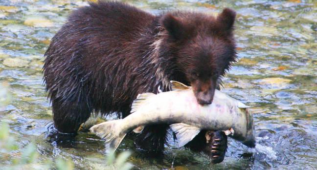 bear_cub_with_salmon