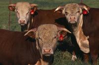 Three cows image via Shutterstock