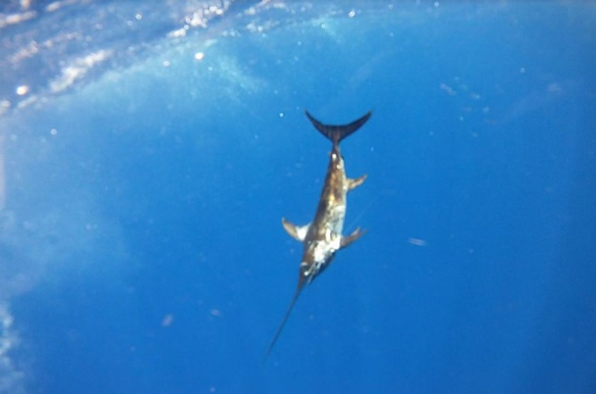 Swordfish Fatally Stabs Man After Man Stabs Fatally