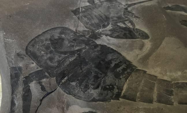 NHM Scorpion Fossil