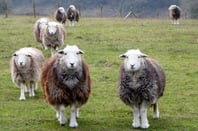 sheep_herwick_648