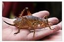 A Handful of Giant Weta by Mike Locke