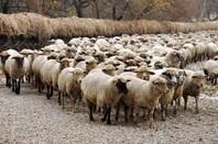 Sheep, image via Shutterstock
