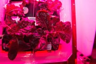 "Astronauts on the International Space Station are ready to sample their harvest of a crop of ""Outredgeous"" red romaine lettuce from the Veggie plant growth system that tests hardware for growing vegetables and other plants in space. Credit: NASA"