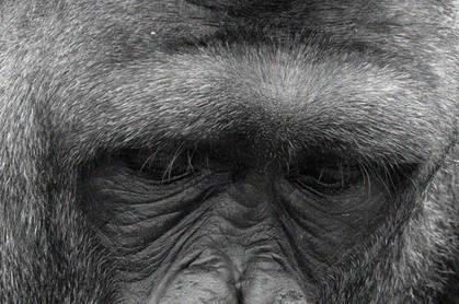 Eyes of a gorila