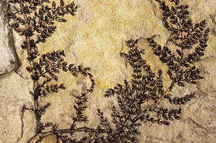 Fossilised remains of Montsechia vidalii