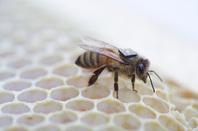 RFID'd bee, image via CSIRO