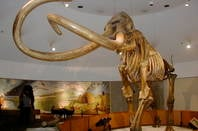 """Columbian mammoth"" by WolfmanSF - Own work. Licensed under CC BY-SA 3.0 via Commons - https://commons.wikimedia.org/wiki/File:Columbian_mammoth.JPG#/media/File:Columbian_mammoth.JPG"