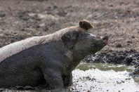Pig in mud, image via Shutterstock