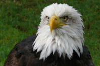 Eagle's head