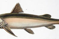 Dorado_or_amazonian_catfish