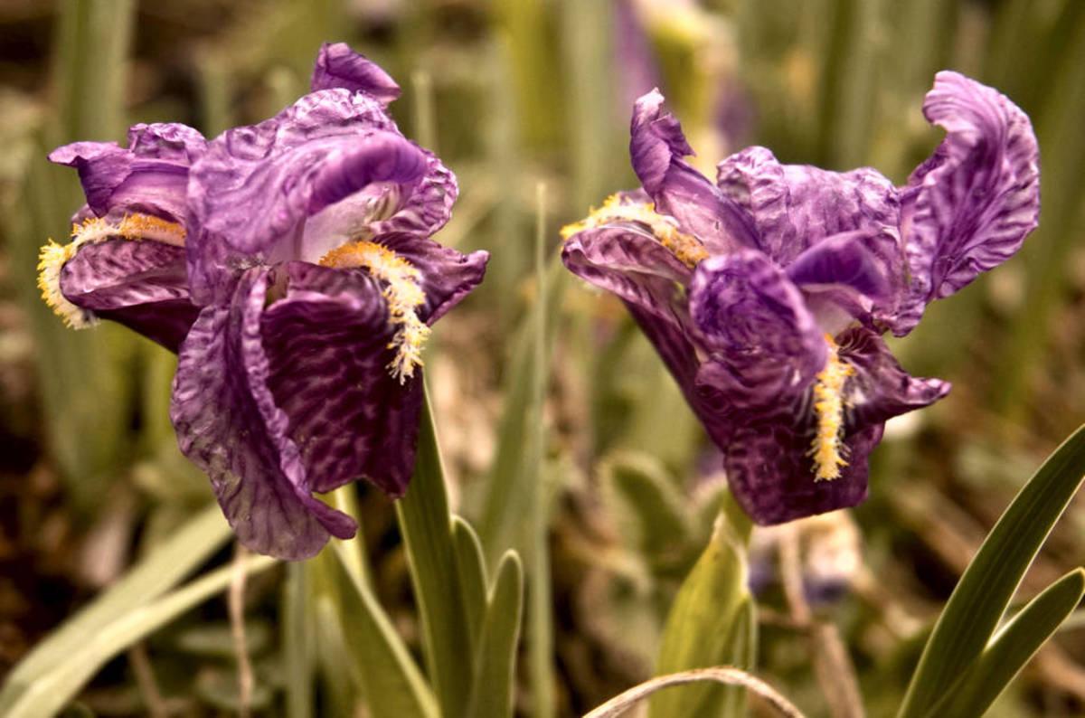 Will the iris hatzenbichler durchschlag flower at falconstor will the iris hatzenbichler durchschlag flower at falconstor the register biocorpaavc