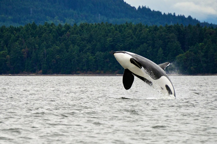 Killer whale, photo via Shutterstock