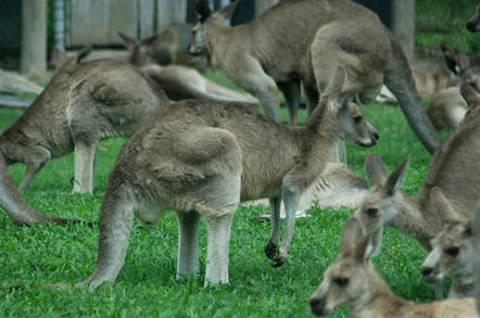 Kangaroos by https://www.flickr.com/photos/lavroff/ cc 2.0 https://creativecommons.org/licenses/by/2.0/