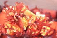 Close up of dulse seaweed being grown and harvested at Hatfield Marine Science Center in Newport Oregon. Chris Langdon has been growing and studying it for decades and is now working with the Food Innovation Center in Portland on creating healthy and appealing dishes. . Photo by Stephen Ward, OSU Extension and Experiment Station Communications. https://www.flickr.com/photos/oregonstateuniversity/19664135662/