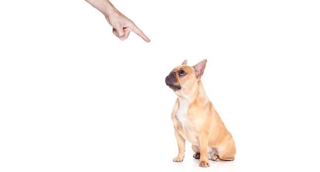 """""""Bad dog"""": Owner wags finger at naughty bulldog"""