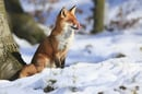 fox, image via shutterstock